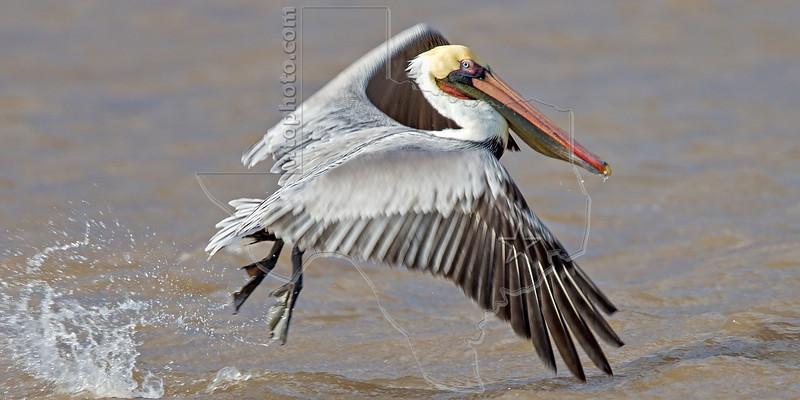 Brown Pelican, Juvenile, Launching Flight,<br /> Sargent Beach, Texas