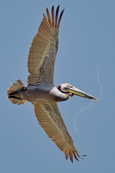 Brown Pelican, Flight,<br /> Freeport Jetty, Texas