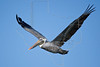 Brown Pelican, Flight,<br /> Freeport Jetty, Freeport, Texas