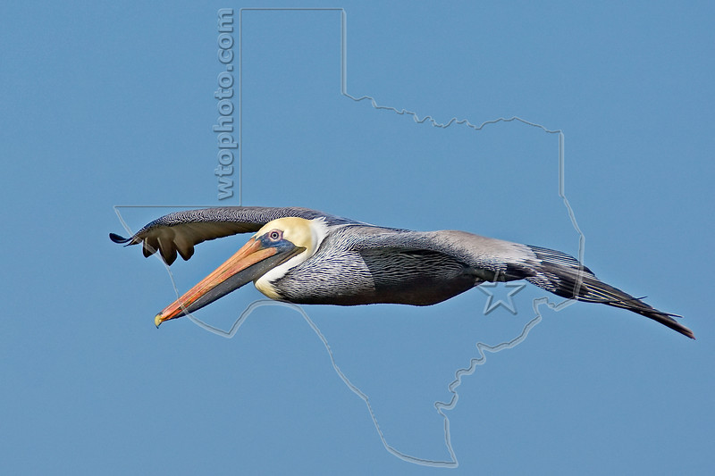 Brown Pelican, Flight,<br /> East Beach, Galveston, Texas