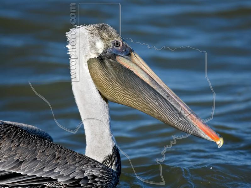 Brown Pelican,<br /> Freeport Jetty, Freeport, Texas
