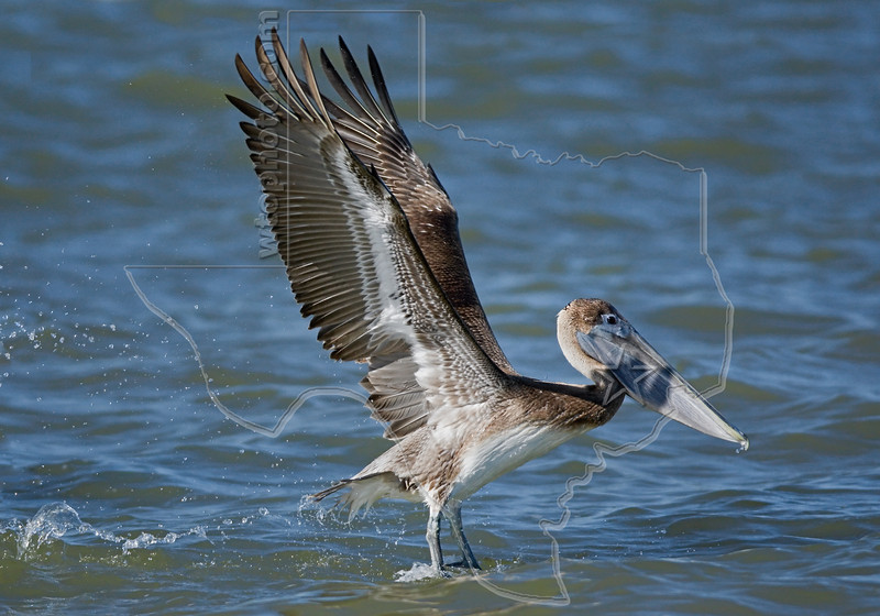 Brown Pelican, Juvenile, Launching<br /> Freeport Jetty, Freeport, Texas