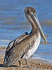 Brown Pelican, Juvenile,<br /> High Island Beach, Texas