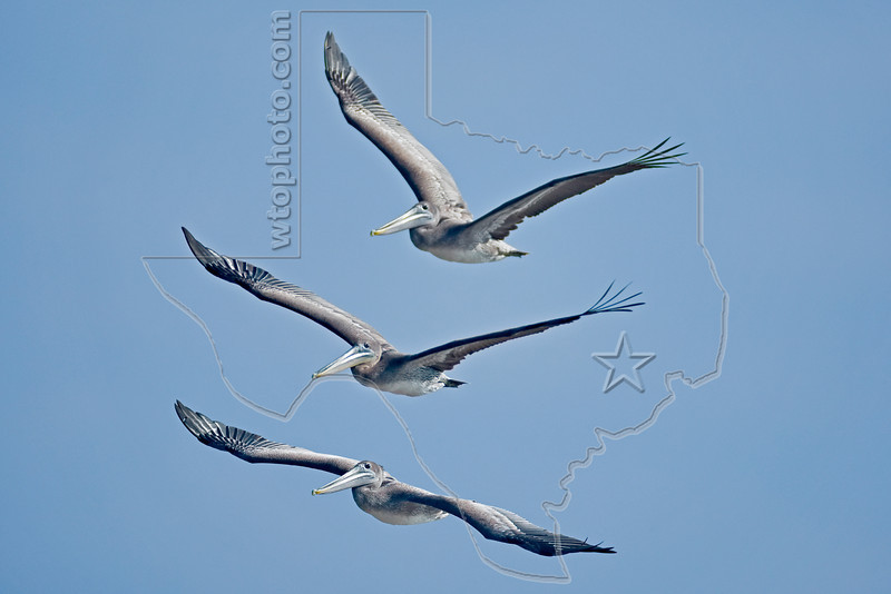 Brown Pelicans, Juveniles, Flight,<br /> Quintana Jetty, Freeport, Texas