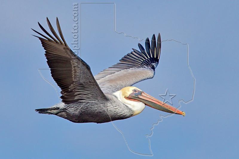 Brown Pelican, Flight<br /> Matagorda Island, TX