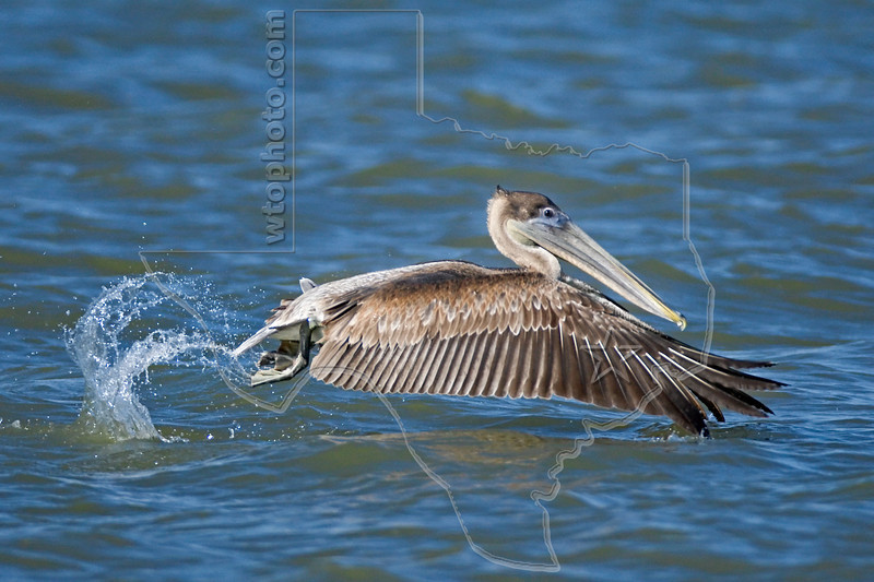 Brown Pelican, Juvenile, Launching,<br /> Freeport Jetty, Freeport, Texas