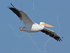 White Pelican, Flight,<br /> East Beach, Galveston, Texas