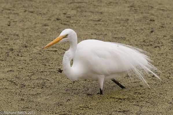 Pelican Bay 2011