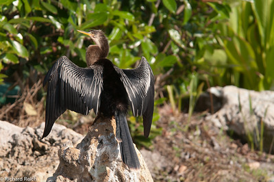 Anhinga in L'Ambiance
