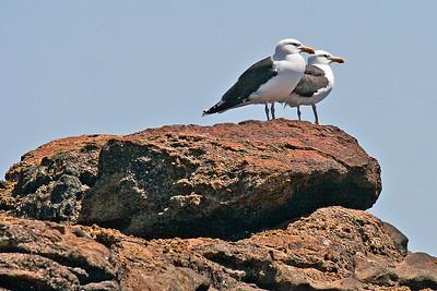 Greater Black-backed Gulls