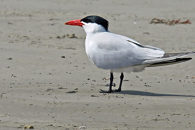 Caspian Tern