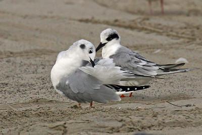Bonaparte's Gull with Sandwich Tern