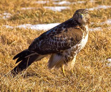hawks eagles kites