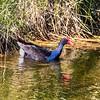 australasian swamphen (aka pukeko)
