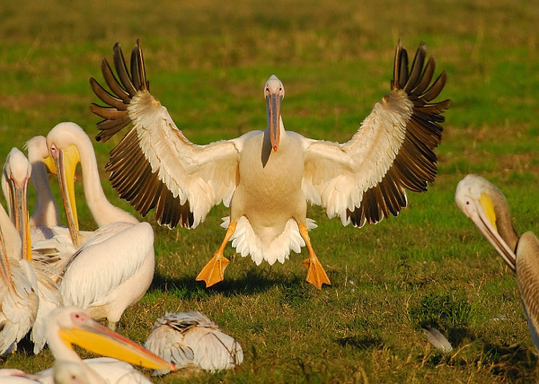 Pelicans - שקנאים