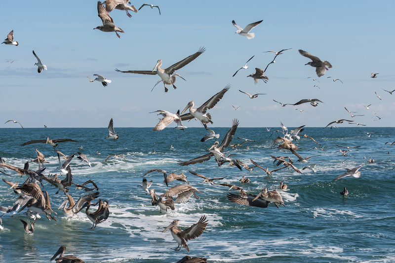 Brown Pelicans (with some gulls mixed in)