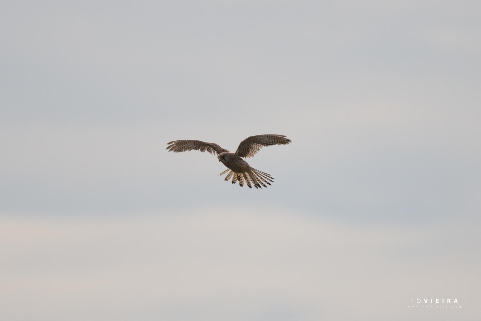Peneireiro-vulgar [Falco tinnunculus]