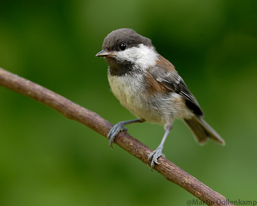 Chestnut-backed Chickadee, ever present there the first to see what  you have when you go out into the yard to fill the feeders.