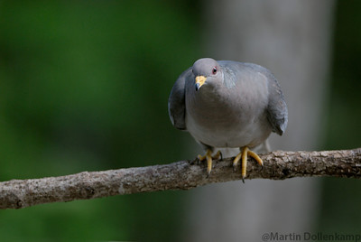 Band Tailed Pidgeon