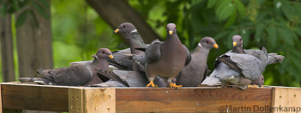 Band-tailed Pigeons, we get up to forty in the spring, once the Elderberries start to ripen they move on.