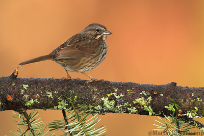 Song Sparrow Melospiza melodia