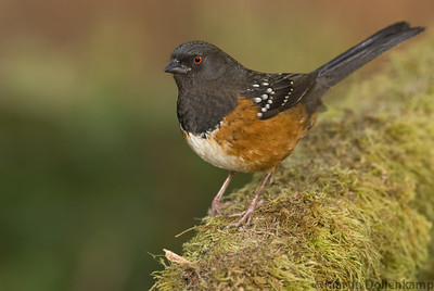 Spotted Towhee Pipilo maculatus