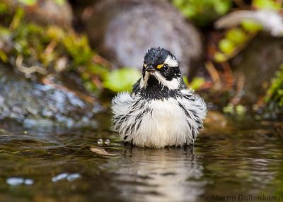 Black-throated Gray Wabler