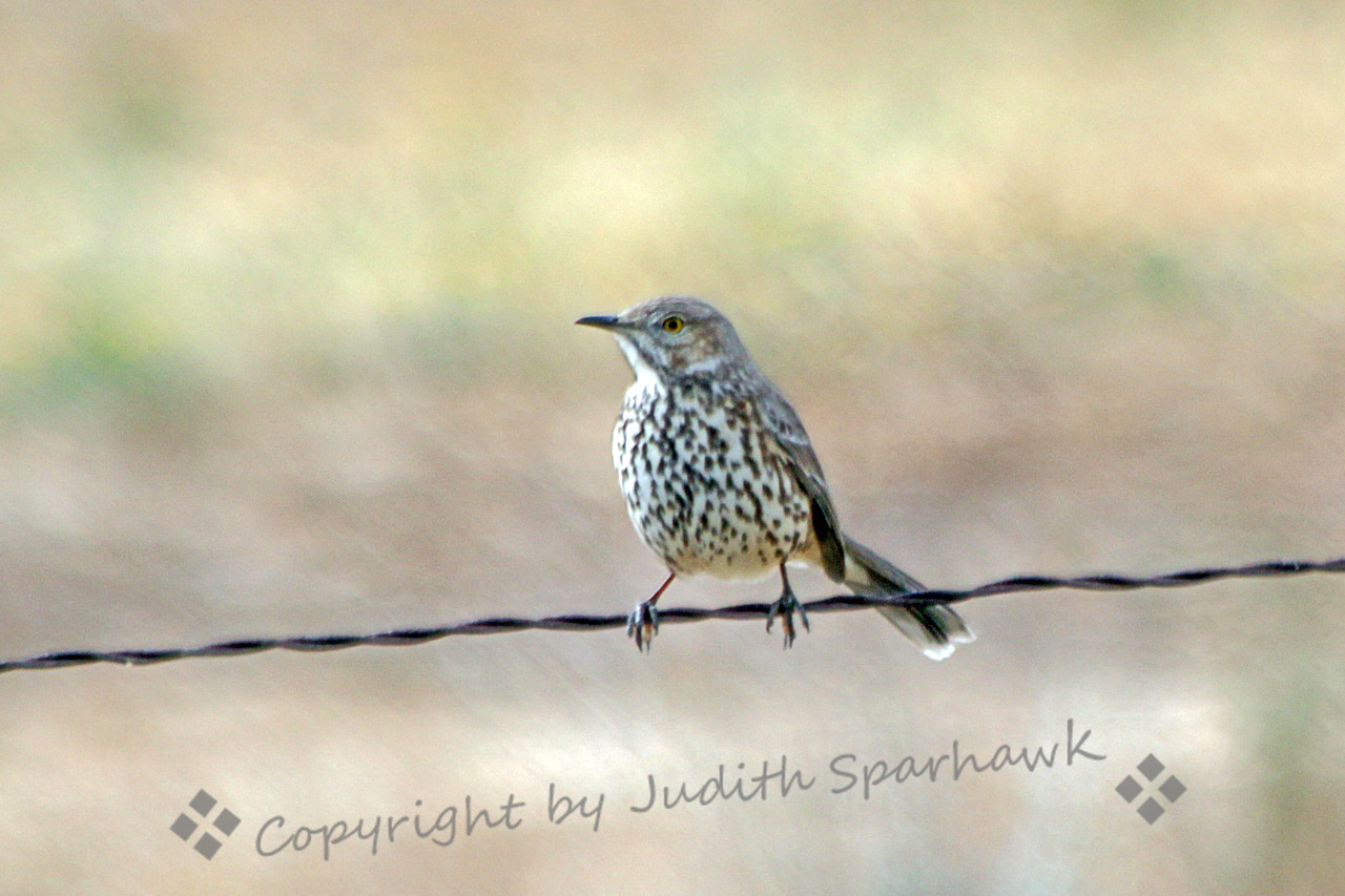 Sage Thrasher ~ This Sage Thrasher was photographed at San Jacinto Wildlife Area in Southern California.