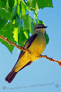 Western Kingbird ~ This kingbid was photographed recently at Barr Lake State Park in Colorado.