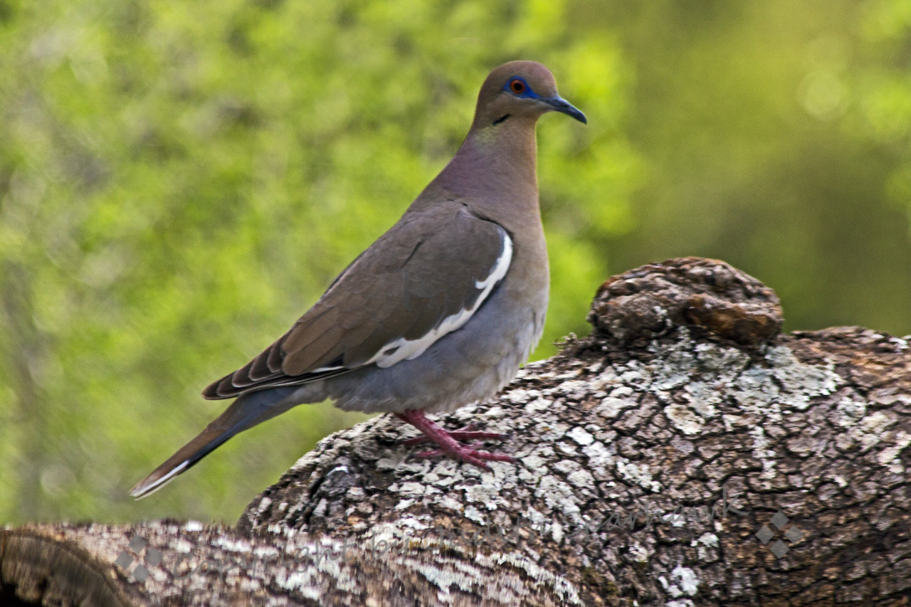 White-winged Dove ~ This dove was photographed in central Texas.