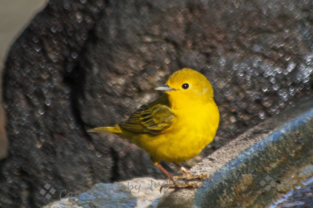 Female Yellow Warbler ~ This female Yellow Warbler was photographed near Covington Park in Morongo Valley, CA.