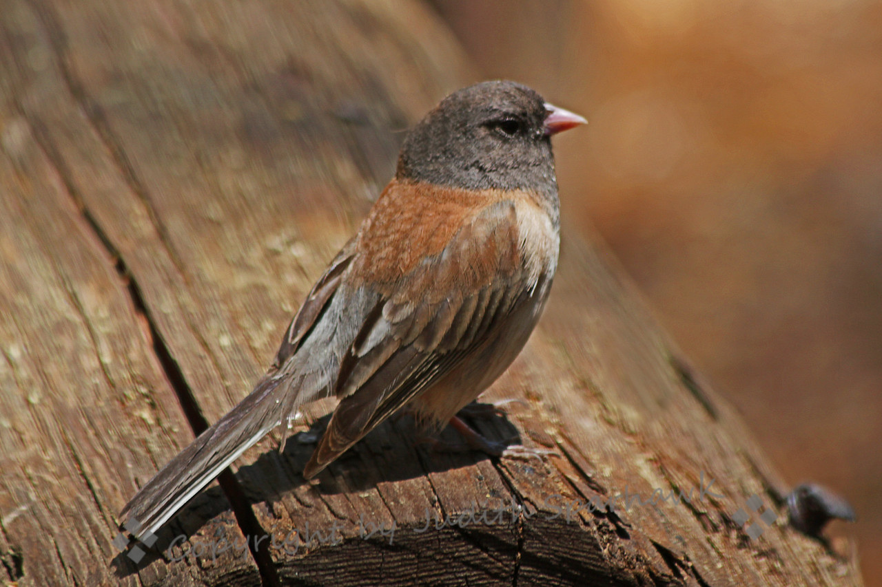 Dark-eyed Junco ~ This junco was photographed in Idyllwild County Park in Idyllwild in the San Jacinto Mountains.