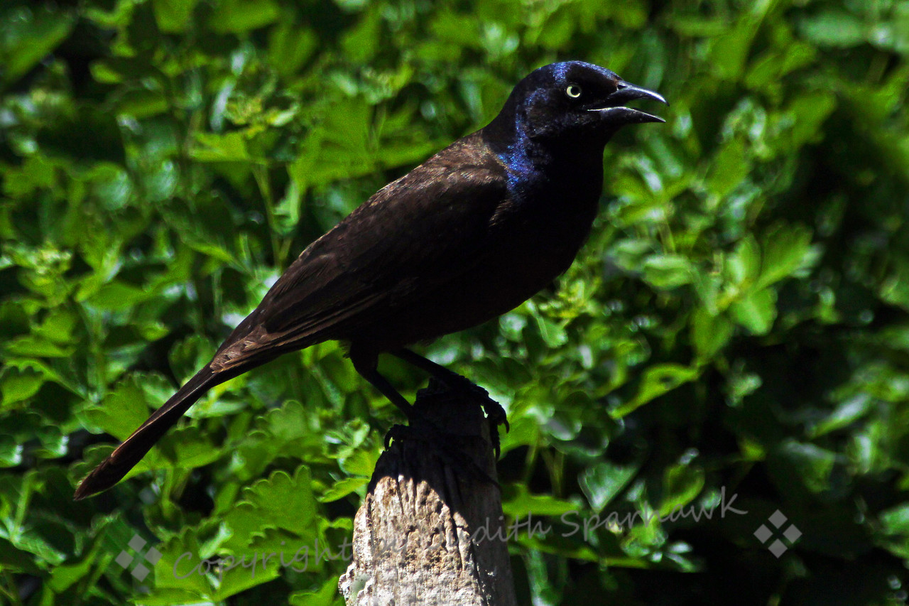 Common Grackle ~ This grackle was photographed recently at Barr Lake State Park in Colorado.  They were all over the place there, noisy, shining irridecense.
