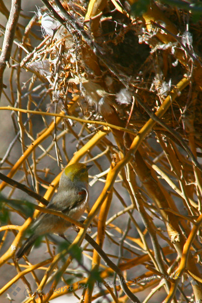Verdin & Nest ~ Although not a gorgeous picture, I don't often get a chance to shoot a Verdin right at its nest.  This bird was coming back to the nest often, hopping inside, and flying out again.  This time I captured it just before it entered the nest.  The Verdin is a tiny bird that lives in desert environments; this one was at Salton Sea, in California.