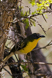 Yellow-breasted Chat ~ Photographed in central Texas.
