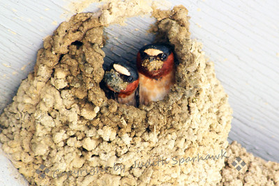 """Mud On Your Face ~ These two Cliff Swallows were working on nest building, going out to the sand bar to get """"mud"""" to build the next level of the nest.  This shot shows them both, just returned to the nest, with beaks full of mud."""