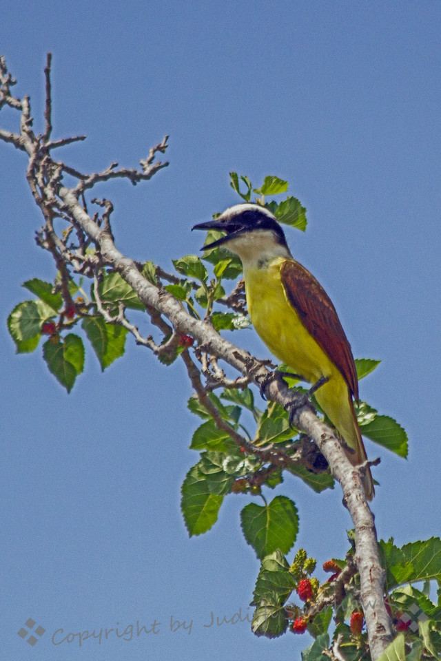 Great Kiskadee ~ This great bird was enjoying the mulberries in this tree in central Texas.