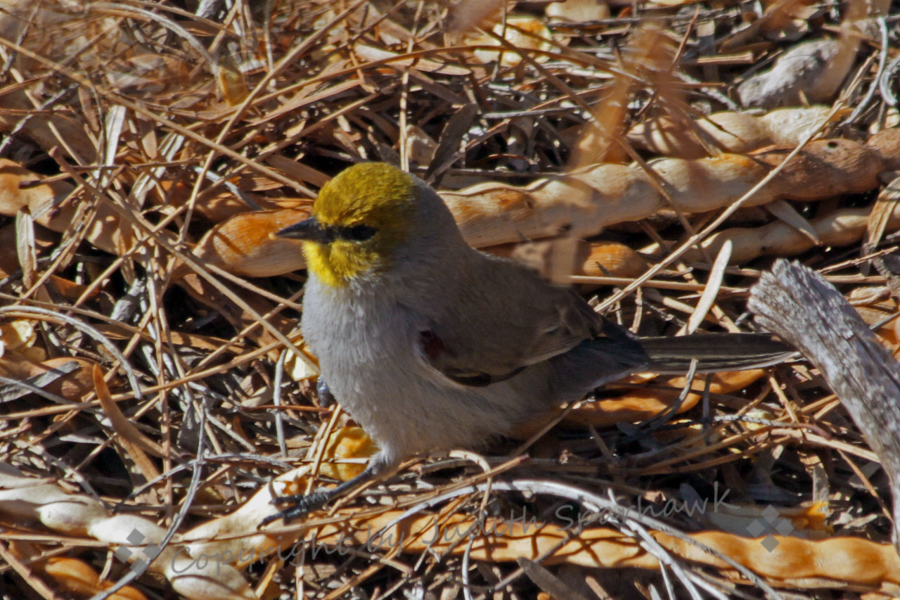 Verdin ~ This cute little desert dweller, the Verdin, has a yellow head and a dark red patch on his wing.  He has a quite loud call for such a small bird.  Here, he was picking seeds from these seed pods, and hopping up into a bush to eat them.  He was in Las Cruces, New Mexico.