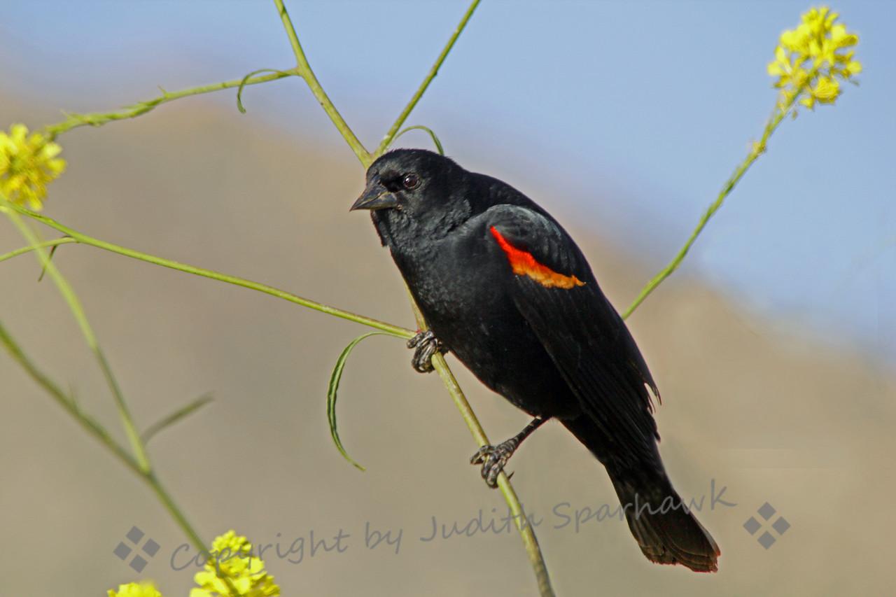 Red-winged Blackbird on Mustard