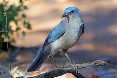 "Mexican Jay ~ This is the ""default"" jay in much of southeastern Arizona.  This one, with its almost turquoise blue plumage, was photographed in Ash Canyon, in the Huachuca Mountains out of Sierra Vista, AZ."