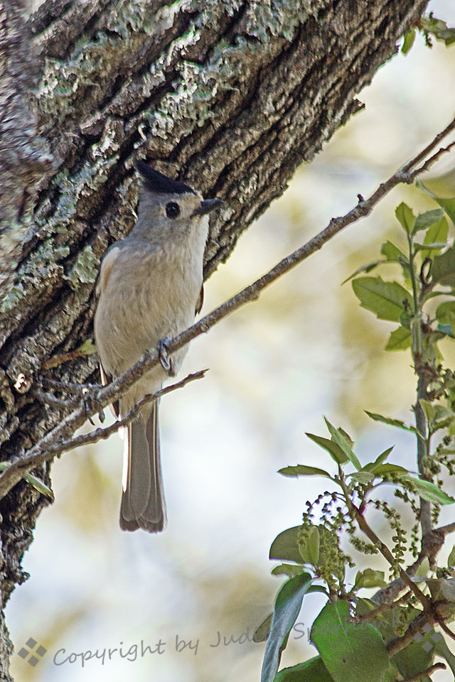 Black-crested Titmouse ~ This titmouse was photographed in central Texas.