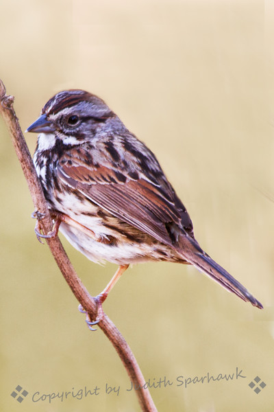 Perching Song Sparrow