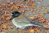 Dark-eyed Junco ~ This Oregon Junco was photographed in the San Bernardino Mountains in December, 2012.