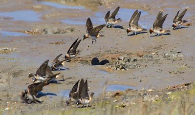 Cliff Swallows ~ It was fun watching the swallows gathering mud for their nests, zipping around, back and forth.