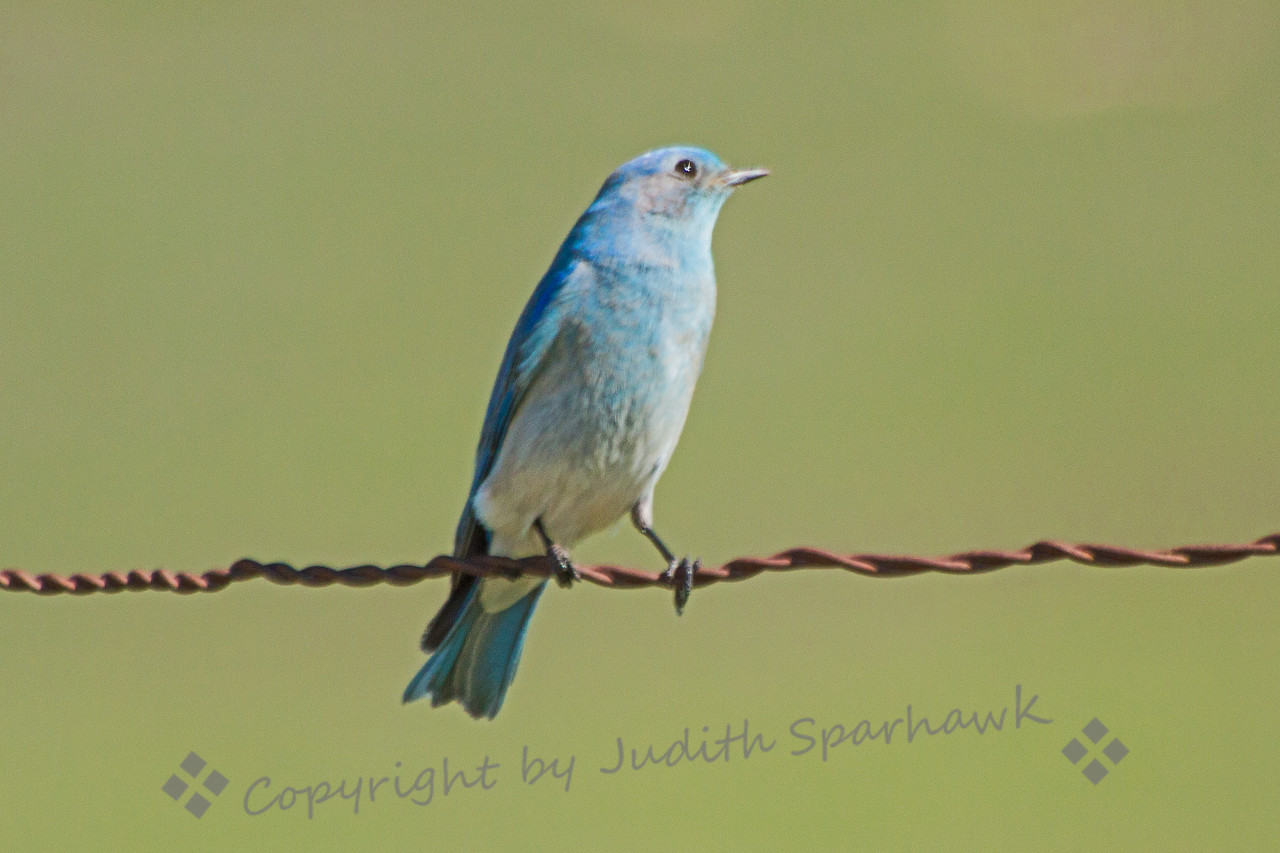 Bird on a Wire ~ This Mountain Bluebird was photographed at the San Jacinto Wildlife Area in Southern California.  About 20 of these birds were perched on fenceposts, fence wire, and were hovering in the air.  Very beautiful to see these wintering birds.