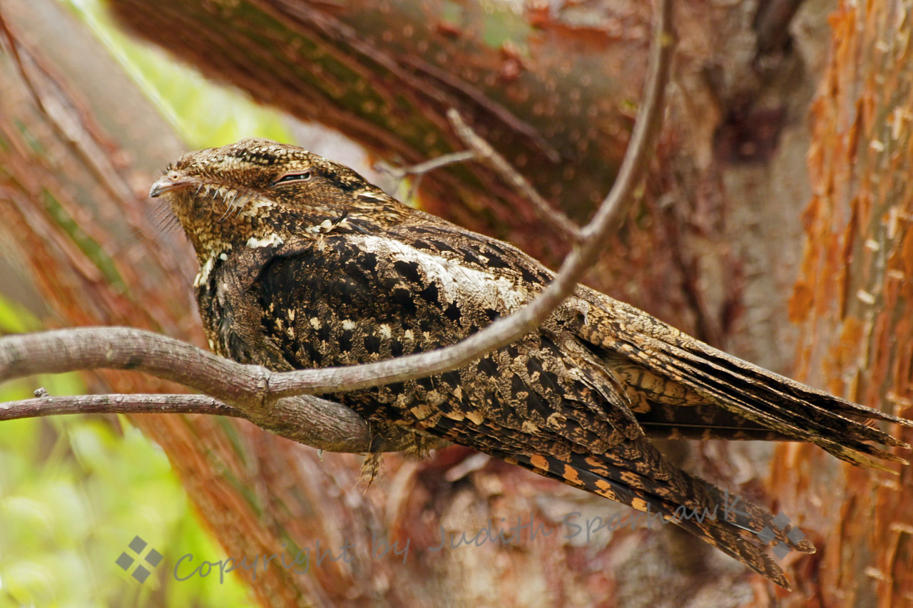 Chuck-Will's-Widow ~ Funny name for a funny-looking bird!  Thanks to some birders from New York, who showed me where this bird was roosting after a night of insect-catching.  It was the first time I'd seen this bird, and it was very exciting to see it.  Although he appeared to be asleep, he was keeping an eye on me as I photographed him.