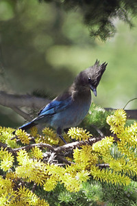 Stellar's Jay ~ This jay was the most common on the east side of the Sierras.  I would have liked a better photograph, but they were very jumpy and didn't like posing for their portraits.