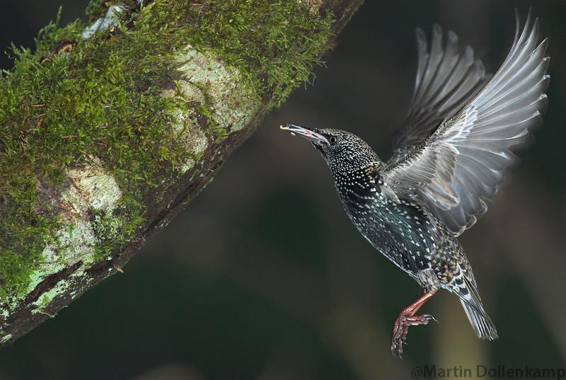 European Starling Sturnus vulgaris