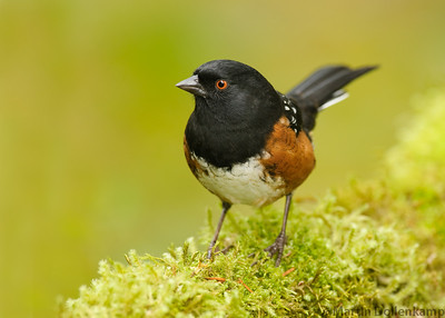 Spotted Towhee, these are and all year resident for us and we enjoy there company, there red eyes are so sharp and bright.