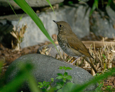 Swainsons Thrush